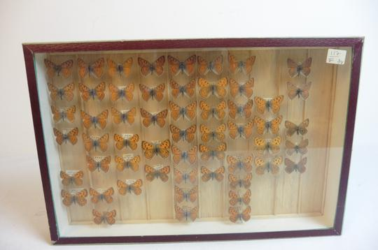 Papillon Collection verticale taxidermie cadres - Photo 2