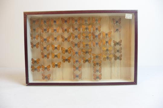 Papillon Collection verticale taxidermie cadres - Photo 3