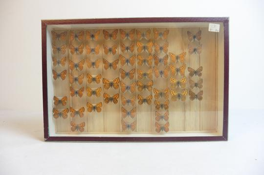 Papillon Collection verticale taxidermie cadres - Photo 0
