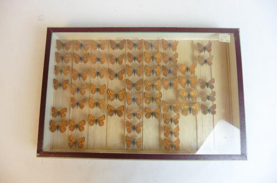 Papillon Collection verticale taxidermie cadres - Photo 1