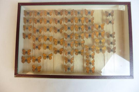 Papillon Collection verticale taxidermie cadres - Photo 6